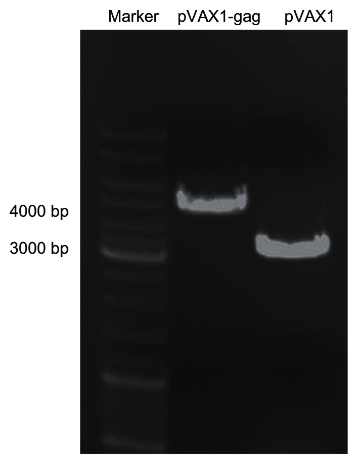 Agarose gel electrophoresis of pVAX1-HIV gag and pVAX1 vectors. Notes: The empty pVAX1 vector was 3000 bp. After insertion of HIV gag fragment (1500 bp), the pVAX1-HIV gag was 4500 bp. Abbreviation: bp, base pair; HIV, human immunodeficiency virus.