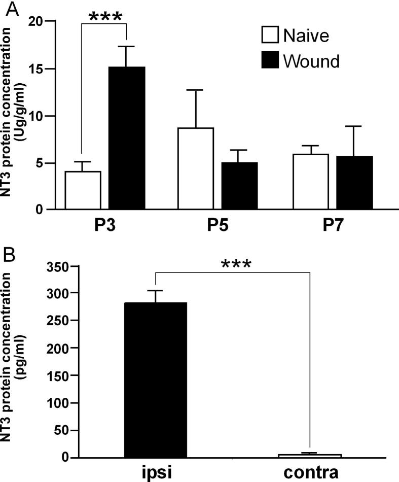 Neonatal wounding induces the production and secretion of neurotrophin-3 (NT-3) in skin. (A) Enzyme-linked <t>immunosorbent</t> assay <t>(ELISA)</t> of NT-3 protein concentration in rat skin at the indicated times following P0 skin wounding (n = 6-8 for each age and condition). ∗∗ P