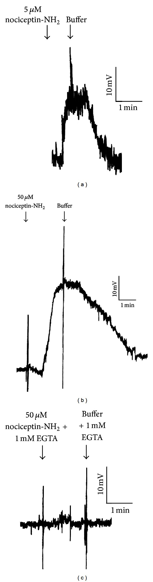 Nociceptin-NH2 is a depolarizing signal in Tetrahymena thermophila . (a) 5 μ M nociceptin-NH2 causes a depolarization of approximately 20 mV, though this concentration does not often provoke a behavioral response in Tetrahymena. (b) 50 μ M nociceptin-NH2 causes a depolarization of approximately 40 mV. This concentration is the EC 100 for behavioral avoidance in Tetrahymena. (c) The depolarization produced by 50 μ M nociceptin-NH2 is eliminated by the addition of 1 mM EGTA to the external medium, implying that calcium is involved in the depolarization.