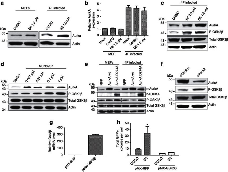 Inhibition of Aurora A kinase by B6 promotes inactivation of GSK3β. ( a ) Both mock-infected and 4F-infected (day 3) MEFs were treated with 1 μM B6 for 2 days and then collected for western blotting of AurkA. Actin served as a loading control. ( b ) MEFs were infected with 4F for 3 days and mock-treated or treated with DMSO or 1 μM B6 for 2 days before isolation of total RNA and RT–qPCR analysis. B6 treatment did not alter induction of AurkA by 4F. Error bar represents variation between two experiments with triplicate wells. ( c ) 4F-infected MEFs were treated with the indicated doses of B6 inhibitor starting on day 3 post-infection and 2 days later were collected for western blotting analysis. ( d ) Inhibition of AurkA by MLN8237 also increases AurkA protein level and dose-dependently promotes GSK3β phosphorylation. The experiment was performed the same as for c . Actin served as the loading control. ( e ) Expression of a dominant-negative form of AurkA promotes GSK3β (Ser9) phosphorylation. MEFs were infected with 4F plus expression vectors for red fluorescent protein (RFP), wild-type (wt) murine AurkA or the D274A kinase-dead mutant of human AurkA. Expression of wt AurkA inhibited GSK3β phosphorylation on Ser9, whereas overexpression of the mutant AurkA D274A enhanced GSK3β phosphorylation. Exposure time was almost doubled for 4F-infected samples. ( f ) MEFs were transfected with 50 nM AurkA and control siRNAs for 2 days. Cells were then collected for western blotting of AurkA, total and phosphorylated GSK3β (Ser9), and actin as a loading control. ( g ) MEFs were infected with pMX-RFP (control) or pMX-GSK3β virus for 4 days and then collected for RT–qPCR analysis. Error bar represents variation of duplicate wells. ( h ) Overexpression of GSK3β blocked the effect of B6 on reprogramming. pMX-Gsk3β was transduced into MEFs together with 4F viruses. B6 (1 μM) was added at day 3 post-transduction and GFP+ colonies were quantified on day 12 post-transduction. Data are 