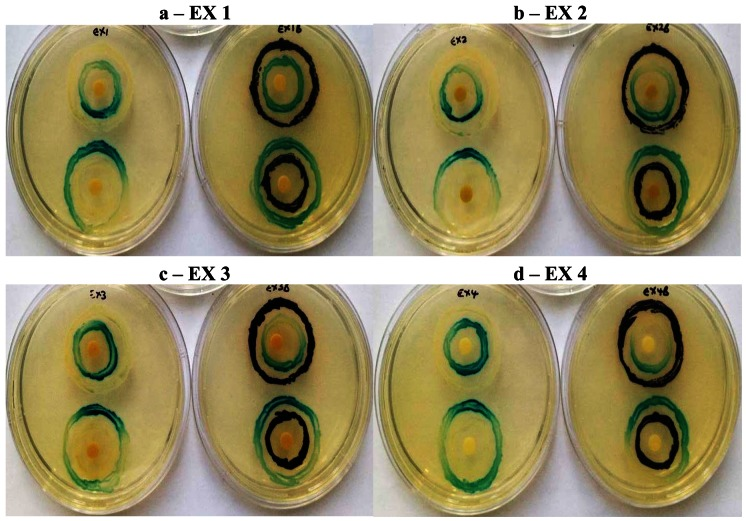 Quorum sensing inhibition by sub-inhibitory concentrations (2 mg/mL ) of Kigelia africana extracts (EX 1–EX 4; a–d) demonstrating modulation of AHL receptor activity (LuxR; up) and AHL synthesis (LuxI; down) in the double ring agar diffusion assay with the Agrobacterium tumefaciens A136/KYC6 biosensor system (left) and A. tumefaciens A136/ Chromobacterium violaceum ATCC 12472 combination (right).