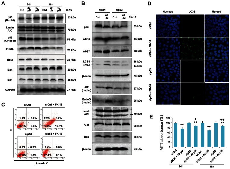 Activation of p53 was required for AIF/EndoG-dependent apoptosis and autophagic cell death induced by FK-16. ( A ) HCT116 cells were incubated with FK-16 for 24 h or 48 h. Cytosolic and nuclear p53 and total expression of Bcl-2 members (PUMA, Bcl-2, Bax and Bak) were determined by Western blot. GAPDH and Lamin A/C were used as internal controls for cytosolic and nuclear proteins, respectively. ( B ) Knockdown of p53 reversed the upregulation of pro-autophagic factors (Atg5 and Atg7) and pro-apoptotic factors (Bax, Bak, nuclear AIF and nuclear EndoG) as well as downregulation of Bcl-2 by FK-16. ( C ) FK-16 failed to induced phosphotidylserine externalization in p53-depleted HCT116 cells. After transfection with control- or p53-siRNA for 48 h, cells were treated with or without FK-16 (40 µM) for another 24 h followed by propidium iodide/annexin V-double staining. ( D ) Knockdown of 53 markedly reduced the number of LC3 + autophagic vacuoles in FK-16-treated cells (40 µM; 48 h) as determined by confocal immunofluorescence (400×). Nuclei (blue) were stained with DAPI. ( E ) Knockdown of p53 partially reversed the inhibitory effect of FK-16 on cell viability in HCT116 as determined by MTT assay. Data are presented as means ± S.D. of three separate experiments. *, p