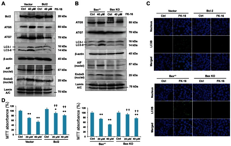 Altered expression of Bcl-2 and Bax was required for AIF/EndoG-dependent apoptosis and autophagic cell death induced by FK-16. ( A ) Restoration of Bcl-2 expression by transfection with Bcl-2-encoding plasmid reversed the upregulation of pro-autophagic (Atg5, Atg7 and LC3-I/II) and pro-apoptotic (nuclear AIF and nuclear EndoG) factors induced by FK-16 (40 µM; 48 h) in HCT116. ( B ) Genetic ablation of Bax (Bax KO) in HCT116 reversed FK-16-induced apoptotic and autophagic signals. Bax +/− HCT116 treated with or without FK-16 was used as control. ( C ) Restoration of Bcl-2 expression or genetic ablation of Bax in HCT116 abolished the formation of LC3 + autophagic vacuoles induced by FK-16 (40 µM; 48 h) as determined by confocal immunofluorescence (400×). ( D ) Restoration of Bcl-2 expression or genetic ablation of Bax partially reversed the inhibitory effect of FK-16 on cell viability in HCT116 as determined by MTT assay. Data are presented as means ± S.D. of three separate experiments. *, p