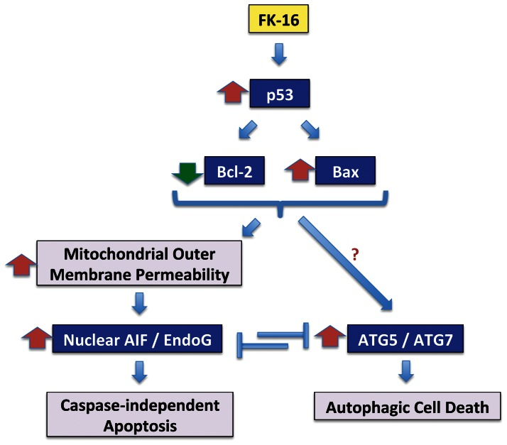 Schematic diagram showing the common regulation of caspase-independent apoptosis and autophagic cell death by the p53-Bcl-2/Bax cascade and their reciprocal regulation induced by FK-16 in colon cancer cells.