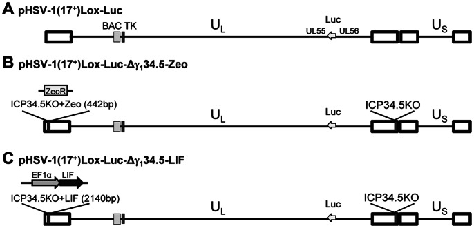 Genome organization and construction of HSV vectors. Schematic representation of the genome organization of <t>HSV-1.</t> (A) In the BAC pHSV-1(17 + )Lox-Luc, a luciferase cassette under a hCMV promoter was inserted between UL55 and UL56. (B) In pHSV-1(17 + )Lox-Luc-Δγ 1 34.5-Zeo (designated HSV-Zeo) both copies of γ 1 34.5 have been deleted, with a ZeoR selection cassette remaining in place of the 5′ copy of γ 1 34.5. (C) For pHSV-1(17 + )Lox-Luc-Δγ 1 34.5-LIF (designated HSV-LIF), the ZeoR cassette was replaced with LIF under control of an EF1alpha promoter.