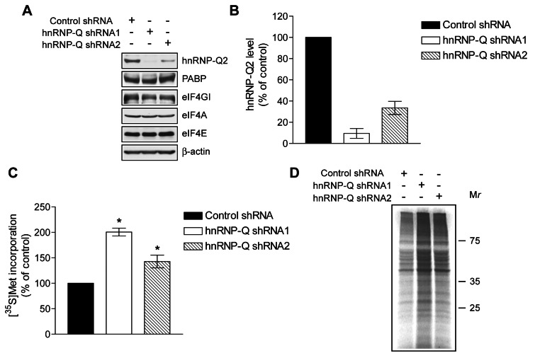 HnRNP-Q2 silencing stimulates global protein synthesis. L929 cells were infected with lentiviruses expressing the nontarget control shRNA or shRNAs (1 and 2) against hnRNP-Q. (A) Cytoplasmic extracts of control and hnRNP-Q knockdown cells equalized for protein content were subjected to Western blotting for hnRNP-Q2, PABP, eIF4GI, eIF4A, eIF4E, and β-actin, as indicated. (B) Quantitative analysis of hnRNP-Q2 bands in panel A using NIH ImageJ software. The values were normalized by those of β-actin. The value in control was set as 100%. The data are means with standard deviations from three experiments. (C) Protein synthesis in control and hnRNP-Q2-knockdown L929 cells as analyzed by [ 35 S]methionine/cysteine labeling. The mean values for 35 S incorporation into proteins from three independent assays with standard deviations are shown as percentages of the value in control (* p