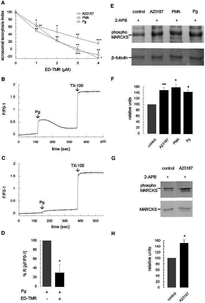 Assessing MARCKS function on acrosomal exocytosis in non-permeabilized sperm. ( A ) Capacitated and non-permeabilized sperm were treated for 30 minutes at 37°C with increasing concentrations of a permeable tetramethylrhodamine-labeled MARCKS ED peptide (ED-TMR). Acrosomal exocytosis was then initiated by adding 10 µM calcium ionophore A23187 (circles), 200 nM PMA (squares) or 15 µM progesterone (triangles), and the incubation continued for 15 minutes. The percentage of reacted sperm was normalized as described in Materials and Methods . The data represent the means±SEM of at least three independent experiments. The asterisks indicate significant differences from similar conditions without ED-TMR (*, p