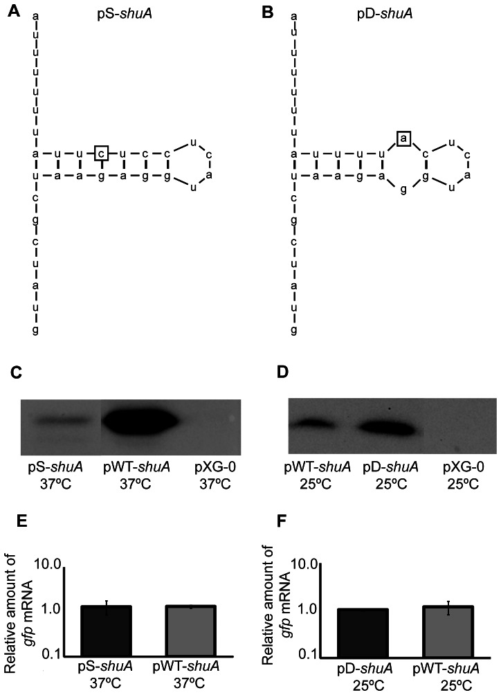 Mutational analysis demonstrates that the shuA 5′ utr contains a functional FourU RNA thermometer. The shuA region cloned into pWT- shuA was mutagenized to further validate the existence of a predicted FourU element within the shuA 5'utr. A) The uracil residue located 19 nucleotides upstream of the gfp translational start site was mutated to a cytosine. This mutation, indicated by the box, is predicted to stabilize the inhibitory structure within the putative FourU RNA thermometer. This mutated sequence was cloned into the gfp translational reporter pXG-10 to generate the stabilized mutant construct designated pS- shuA . B) The cytosine residue 17 nucleotides upstream of the gfp translational start site was mutated to an adenine. This mutation, indicated by the box, is predicted to destabilize the inhibitory structure within the putative FourU RNA thermometer. This mutated sequence was cloned into the gfp translational reporter pXG-10 to generate the destabilized mutant construct designated pD- shuA . Western blot analyses were conducted using monoclonal anti-Gfp antibodies and whole-cell extracts generated from an equal number of E. coli carrying pWT- shuA or pS- shuA cultured to stationary phase in LB at the permissive temperature of 37°C ( C ), and E. coli carrying pWT- shuA or pD- shuA cultured to stationary phase in LB at the non-permissive temperature of 25°C ( D ). Quantitative real-time PCR analysis was performed using RNA isolated from E. coli DH5α cells carrying pWT- shuA, pS- shuA and pD -shuA after culturing the strains to stationary phase using the temperatures indicated. gfp transcript levels were normalized to the amount of rrsA in each sample and set relative to the amount of gfp in the first pWT- shuA sample. All data are representative of three biological replicates and error bars represent one standard deviation. Assuming a confidence interval of 95% (p≤0.05), no significant difference exists between the relative levels of gfp transcript measured 