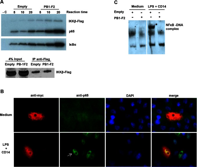 PB1-F2 increases IKKβ kinase activity but inhibits NF-κB binding to DNA. A) Vero cells were transfected with empty pcDNA4 or pcDNA4-PB1-F2Q/HK97 and pcDNA3-IKKβ. Forty eight hours post transfection, cells were lysed and IKKβ was immunoprecipitated using rabbit anti-Flag antibody. The kinase assay was performed for the indicated times in the presence of 0.0925 MBq 32 P ATP, using GST-p65 and GST-IκBα as substrates. As a negative control (- C) non-transfected cells were used in the same experiment. Phosphorylation was detected by autoradiography. The levels of Flag-IKKβ present in the whole cell lysates (input) and immunoprecipitates (IP) were assessed by immunoblotting using rabbit anti-Flag antibody. B) Vero cells were transfected with pcDNA4-PB1-F2Q/HK97 and stimulated with 1 µg ml −1 LPS +800 ng ml −1 CD14 during one hour or left untreated (medium only). The cellular localisation of endogenous p65 was visualized using a rabbit anti-p65 antibody (green). Cells expressing PB1-F2 were identified (arrow) using a monoclonal mouse anti-myc antibody (red) and nuclei were stained with 4',6-diamidino-2-phenylindole (DAPI). C) Vero cells were transfected with empty pcDNA4 or pcDNA4-PB1-F2Q/HK97 and pMACS K k .II plasmid. Cells expressing K k were selected using magnetic microbeads coated with anti-K k antibody. These cells were stimulated with 1 µg ml −1 LPS +800 ng ml −1 CD14 for one hour or left untreated (medium only). Nuclear extracts were prepared and incubated with a NF-κB biotinylated probe. Complexes were resolved in TBE polyacrylamide gel, transferred to a membrane and biotinylated DNA was detected by chemiluminescence.