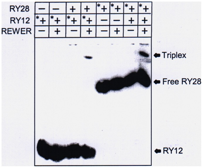 EMSA shows the formation of triplex between RY12 and RY28. Triple helix formation between dodecamer RY12 and RY28 hairpin in the presence of the peptide REWER detected on 15% native polyacrylamide gel electrophoresis. First four lanes show the results of experiments using radiolabeled RY12, last four lanes used radiolabeled RY28. * represents 5′ radiolabeled oligonucleotide.
