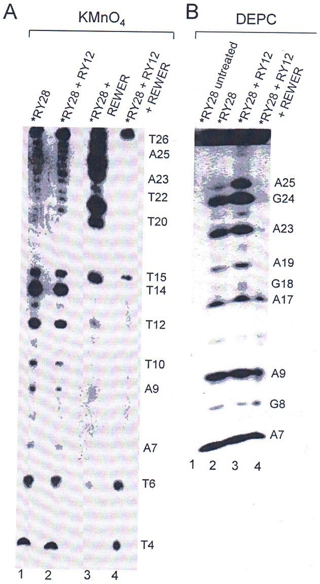 KMnO 4 and DEPC sequencing results show protection of DNA bases due to triplex formation in the presence of REWER. Prior to electrophoresis all chemical modifications were done at 4°C. A ) KMnO 4 panel shows the reactivity of the free RY28 and RY28+RY12 (1∶1) mixture with radiolabeled RY28 in the presence and absence of the pentapeptide, REWER. [P]/[N] ratio in all experiments was 3.8. Lane1, RY28 alone; lane 2, RY28+RY12 mixture; Lane 3, RY28+REWER; lane 4, RY28+RY12+REWER. Bands corresponding to thymines and adenines are indicated. B ) DEPC reactivity of the triplex. Lane 1 represents probe only (without treatment) and was used as control for both KMnO 4 and DEPC experiments. Lane 2, RY28; lane 3, mixture of radiolabeled RY12+RY28; lane 4, RY28+RY12+REWER. The bands corresponding to adenines and guanines are marked. * represents 5′ radiolabeled oligonucleotide.