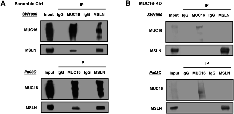 MSLN and MUC16 co-immunoprecipitate in pancreatic cancer cells. Whole lysates from scramble control (A) or MUC16-KD (B) SW1990 and Pa03C cells were immunoprecipitated with either an anti-MUC16 or anti-MSLN or an isotype control antibody, and analyzed for MSLN or MUC16 reactivity by immunoblotting. Lysates from SW1990 and Pa03C cells were also analyzed as input controls.