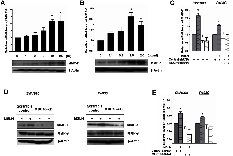 MSLN-MUC16 interaction induces MMP-7 synthesis in pancreatic cancer cells. (A) SW1990 cells were starved in serum-free medium overnight and incubated with MSLN (1 μg/ml) for the indicated periods of time. The mRNA levels of MMP-7 were quantified by qRT-PCR. GAPDH served as internal control. Data represent the mean ± S.E. of at least three independent experiments. *, p