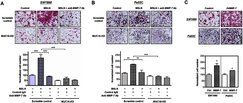 MSLN-MUC16 interaction promotes pancreatic cancer cell invasion via MMP-7 activation. Scramble control or MUC16-KD SW1990 (A) or Pa03C (B) cells were incubated with MSLN (1 μg/ml) in the presence of either a neutralizing MMP-7 antibody (2 μg/ml) or an isotype control and then used in transwell invasion assays. Data are reported as normalized cell number that invaded through the transwell membrane relative to untreated scramble control (100%), and represent the mean ± S.E. of three independent experiments. **, p