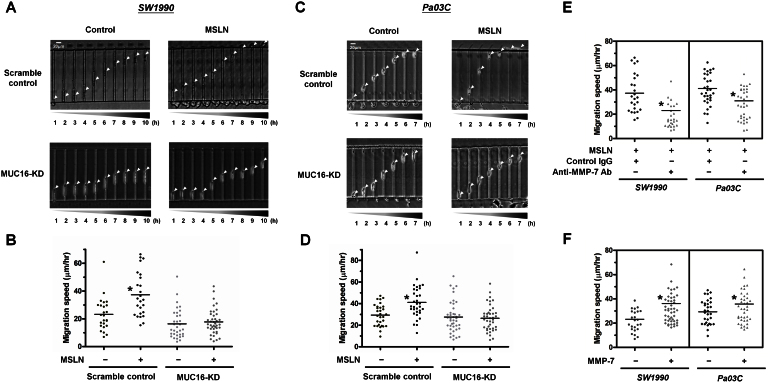 MSLN binding to MUC16 promotes pancreatic cancer cell motility via MMP-7 activation. Representative time-lapse images of scramble control and MUC16-KD SW1990 (A) and Pa03C (C) pancreatic cancer cells migrating through channels of prescribed dimensions ( W x H x L = 6 × 10 × 200 μm) using 10% FBS as chemoattractant. In all experiments, cells were incubated with or without MSLN (1 μg/ml) for 6 h before being seeded to the microchannel device. The average migration speed of individual scramble control and MUC16-KD SW1990 (B) and Pa03C (D) cells was determined over a 10 h period for > 30 cells from three independent experiments. *, p