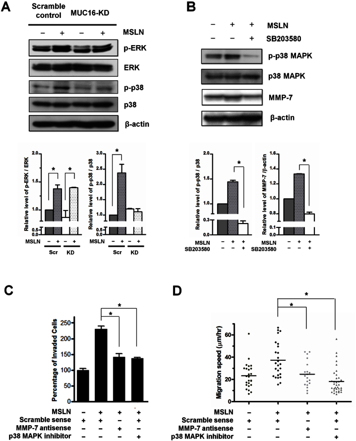 MSLN-MUC16 interaction promotes pancreatic cancer cell motility and invasion via MMP-7 induced by a p38 MAPK-dependent pathway. (A) Scramble control and MUC16-KD SW1990 cells were serum-starved overnight, and then treated with MSLN (1 μg/ml) for 12 h. The levels of phospho-ERK1/2 (Thr202/Tyr204) and phospho-p38 MAPK (Thr180/Tyr182) from whole cell lysates were analyzed by immunoblotting using specific Abs. Equal loading in each lane was ensured by the similar intensities of total ERK1/2, p38 MAPK, and β-actin. (B) SW1990 cells were incubated with MSLN (1 μg/ml) for 12 h in the presence or absence of the p38 MAPK inhibitor SB203580 (20 μM). The levels of phospho-p38 MAPK (Thr180/Tyr182) and MMP-7 expression from cell lysates were analyzed by Western blotting using specific Abs. Equal loading in each lane is ensured by the similar intensities of total p38 MAPK and β-actin. These Western blots are representative of three independent experiments, all revealing similar results. The intensity of bands was quantified using the NIH ImageJ software and then normalized with respect to the value obtained for the untreated control. (C, D) SW1990 cells were stimulated with MSLN (1 μg/ml) in the presence or absence of SB203580 (20 μM) or an MMP-7 antisense oligonucleotide (50 nM), and then subjected to either transwell invasion or microchannel motility assays. (C) Data are reported as percentage of untreated control cells that invaded through the transwell membrane, and represent the mean ± S.E. of three independent experiments. (D) The average migration speed of individual cells was determined over a 10 h period for > 30 cells from three independent experiments for each of the indicated conditions. *, p