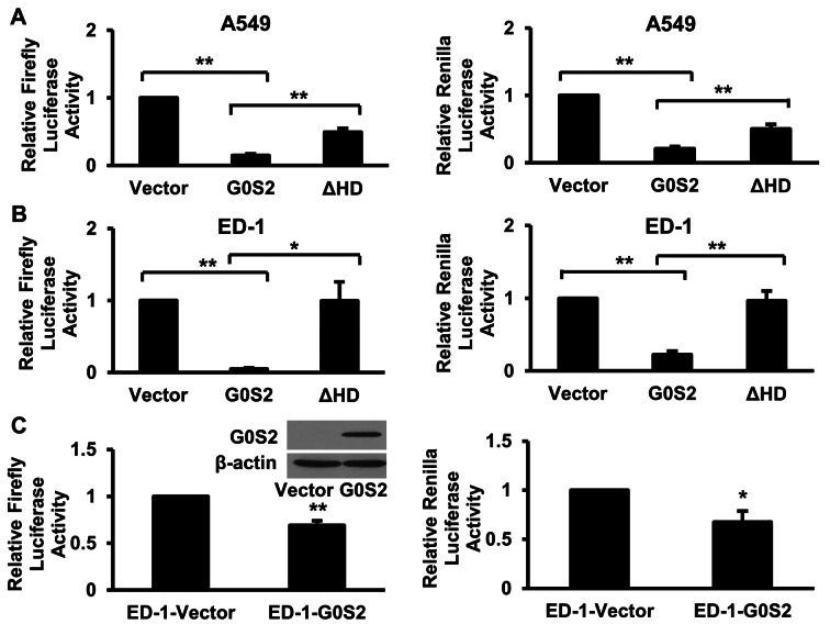 Inhibitory effects of G0S2 domains in different cell contexts. Transient transfection of G0S2 decreased the luciferase activity of the co-transfected <t>PGL3E</t> (firefly, left panel) and <t>pRL-TK</t> (renilla, right panel) reporter plasmids in (A) A549 cells and independently in (B) ED-1 cells. Transient transfection of G0S2 that lacked the HD domain (ΔHD) exhibited significantly less (P