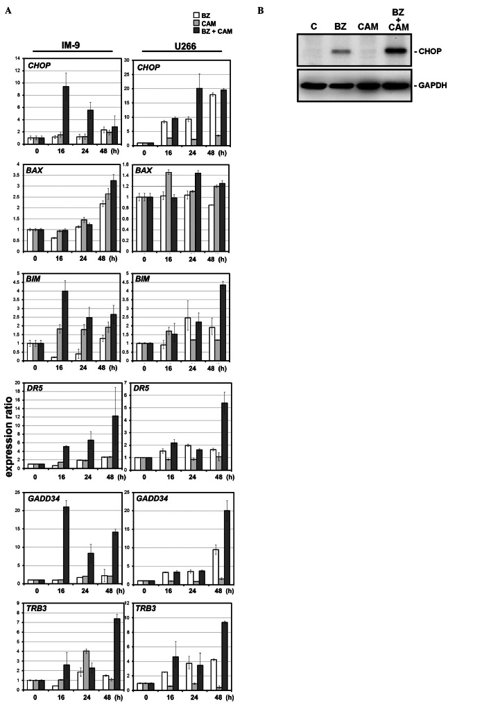 Profiles of the ER-stress-related genes and the target genes transcriptionally regulated by CHOP in IM-9 and U266 cells after treatment with BZ and/or CAM. (A) The expression of ER-stress-related genes in IM-9 and U266 cells, including CHOP and proapoptotic genes transcriptionally regulated by CHOP, were assessed by quantitative real-time PCR during 48-h exposure to BZ (10 nM for IM-9 cells, 5 nM for U266 cells), CAM (50 μ g/ml) and BZ+CAM. The data of the real-time PCR products for each gene were standardized to GAPDH as an internal control. The expression levels were compared with those in untreated cells. (B) Immunoblotting with anti-CHOP mAb after combined treatment of U266 cells with BZ and CAM. U266 cells were treated with/without CAM (50 μ g/ml) in the presence or absence of BZ (5 nM) for 24 h. Cellular proteins were separated by 11.25%, then immunoblotted with anti-CHOP mAb. Immunoblotting with anti-GAPDH mAb was performed as an internal control.