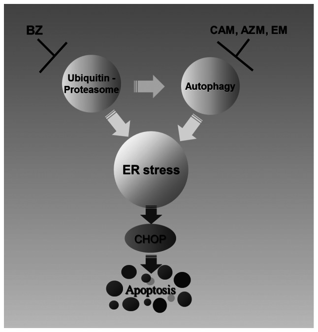 Induction of ER-stress-mediated apoptosis by inhibition of two major protein degradation systems in MM cells. Simultaneous inhibition of the ubiquitin-proteasome system by BZ and the autophagy-lysosome system by a macrolide antibiotic results in over-loading ER-stress on MM cells. This leads to activation of ER-stress-mediated apoptotic signals, including CHOP and subsequent upregulation of proapoptotic genes.
