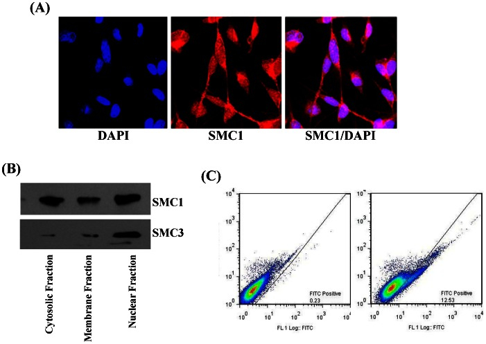 Cellular localization of SMC1 in MDA-MB-231 Cells. Immunocytological localization SMC1 was performed on MDA-MB-231 fixed cells by method described previously with slight modifications [37] , [38] , [40] , [41] . Cells were grown on glass cover slips and fixed with ice-cold methanol and acetic acid (3∶1). Nonspecific antibody interactions were minimized by pre-treating the cells with 10% goat serum in PBS for 60 min at room temperature. The cells were subjected to immuno-cytochemistry using anti-SMC1 IgG (raised in rabbit) as a primary antibody and goat-anti-rabbit Rhodamine red-x-conjugated secondary antibody. DAPI (4′, 6-Diamidino-2-phenylindole) was used as a nuclear counter-stain. Slides were analyzed by confocal laser microscope (Zeiss LSM510 META, Germany) at 40× magnification ( Panel A ). Surface localization of SMC1 was determined by flow cytometry using indirect flow cytometry protocol [40] . Briefly, MDA-MB-231 cells were harvested and resuspended to approximately 1×10 6 cell/ml in ice-cold PBS, 10% FBA and 1% sodium azide. Cells were incubated with 1 µg/ml anti-SMC1 IgG in 3% BSA/PBS solution and incubated at 4°C for 2 hour followed by washing with PBS and incubated with FITC-conjugated secondary antibody for 30 min at room temperature in dark. Cells were washed with PBS 3–5 times and resuspended in ice-cold PBS containing 3% BSA and 1% sodium azide and analyze by flow-cytometry ( Panel B ). Subcellular distribution of SMC1 was determined in the MDA-MB-231 cells using subcellular protein fractionation kit (Thermo Scientific) as detailed in methods section. Immuno-precipitation was performed in all the 3 fractions using anti-SMC1 IgG using the protocol as described in method section. All the immune-precipitates were characterized by western blot using anti-SMC1 and anti-SMC3 IgG ( Panel C ).
