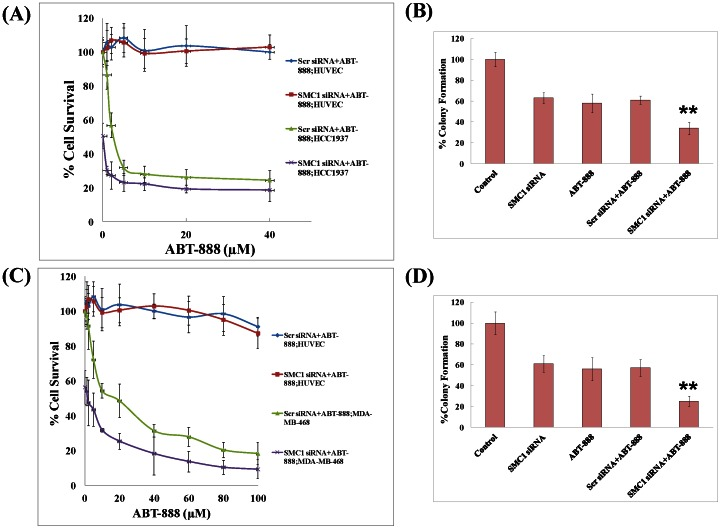 Effects of combining a PARP-inhibitor with SMC1 siRNA in TNBC basal-like cell lines. IC 50 (half maximal inhibitory concentration) of the PARP-inhibitor, ABT-888 combined scrambled (scr) or SMC1 siRNA was tested in normal (HUVEC) and TNBC basal-like (MDA-MB-468, HCC1937) cell lines by MTT assay as detailed in methods section. Briefly, cells were transfected with scrambled siRNA or SMC1 siRNA (50 nM) using Lipofectamine RNAiMax following manufactures instructions and after 24 hours, transfected cells were treated with a range of ABT-888 (0–100 µM) and MTT assay was performed after 72 hours ( Panel A and C ). To further check the effect of SMC1 silencing on the efficacy of ABT-888, colony propagation assay was performed as described [37] , [38] . Briefly, MDA-MB-468 and HCC1937 were transfected with scrambled or SMC1 siRNA (0.1×10 6 cells/500 µl in triplicates). Aliquots of 50 and 100 µl (in triplicates) were taken in 60 mm size petri-dishes, separately, in a total volume of 4 ml with medium containing 20 µM ABT-888 (MDA-MB-468) and 5 µM (HCC1937). The medium was changed every 2 days and after 10 days, the cells were stained with 0.5% methylene blue and colonies were counted by Alpha Innotech Imager ( Panel B and D ). These results showed that SMC1 siRNA sensitized basal like TNBC cells irrespective of their BRCA1 mutation status.