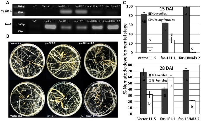 Constitutive expression of mj-far -1 in tomato hairy roots increases roots susceptibility to infection by the RKN M. javanica . A. RT-PCR confirmation of mj-far-1 (upper gel) and kanR (lower gel) expression in tomato hairy roots lines far -1 E1.1, far -1 E 7.1, far-1 RNAi3.2 and far-1 RNAi11.5 compared with the respective control Vector 1.1 and WT 870. The expected size of the PCR product is 96 bp for the mj-far -1 and 81 for kanR . RT-PCR was performed on total RNA isolated from non infected transformed tomato hairy roots and WT 870 roots. B. Increased susceptibility of tomato hairy roots expressing mj-far -1 ( far-1 E1.1 and far-1 E7.1) is accompanied by expanded galling production compared with mj-far-1 dsRNA-expressing tomato hairy root lines ( far-1 RNAi3.2 and far-1 RNAi11.5) and vector control (Vector 1.1. and Vector 11.5). C. Meloidogyne susceptibility/resistance of vector transformed roots and transgenic tomato roots expressing mj-far-1 , or mj-far-1 dsRNA-expressing lines, was measured as nematode developmental stages counted at 15 and 28 DAI. Roots were inoculated with 200 sterile pre-parasitic J2s and then assessed for juveniles, young females and mature females under the dissecting scope following staining with acid fuchsin dye. Note the significant ( P ≤0.05) increase in percentage of young females at 15DAI and increase in percentage of mature female at 28DAI in roots overexpressing mj-far-1 in comparison with vector control roots. Data are expressed as means of 25 plants from each line; the experiment was repeated three times, giving consistent results. The percentage of each developmental stage is represented by a mean ± standard error. Different letters above the bars denote a significant difference ( P ≤0.05, analysis of variance) between tomato roots lines analyzed by Tukey-Kramer multiple comparison tests.