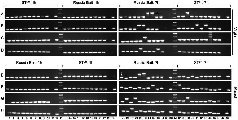 Colony PCR showing the cDNA derived maternal and paternal fragment of Nvtra . Panels A – D and E – H indicate the four replicate PCR runs. The maternal origin and age of the embryos is indicated above each set of PCR fragments. White arrow indicates cDNA fragment, black arrow indicates Russia Bait cDNA fragment and dotted arrow indicates gDNA fragment. M is 100 bp molecular standard, ranging from 300 bp (lowest band) to 500 bp (higest band).