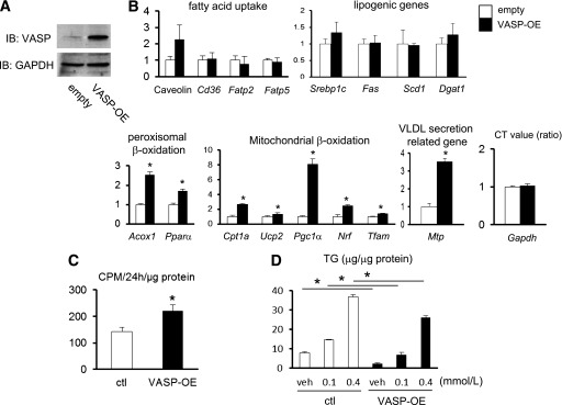 The effect of VASP on lipid metabolism in <t>AML12</t> cells. A : AML12 cells were transduced with VASP (VASP-OE) or control (ctl) (empty) vector. B : RT-PCR analysis of lipid metabolism–related genes in AML12 cells. Expression of Gapdh as shown by the ratio of CT value ( n = 3). C : Rate of [1- 14 C]palmitate incorporation into acid-soluble metabolites ( n = 4). D : Oleic acid (either 0.1 or 0.4 mmol/L)-induced accumulation of TG in AML12 cells. <t>BSA</t> (1.3 mmol/L) was used as a control ( n = 3). * P