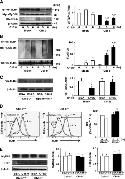 Role of Cbl-b in TLR4-mediated saturated FA signaling. A : HEK293/TLR4 cells were transfected with TLR4-V5, MyD88-Myc, mock vector/pCEFL-Cbl-b-HA, and pcDNA3-FLAG-Ubiquitin. To analyze the degradation rates of saturated FA signaling molecules, these cells were treated with 100 μg/mL cycloheximide. After treatment with palmitate for the indicated time intervals, whole-cell lysates were subjected to immunoblotting (IB; 20 μg/lane) for the indicated proteins. Each experiment was independently reproduced three times. Data are densitometric ratio of V5 to β-actin and are mean ± SD values of three experiments. * P