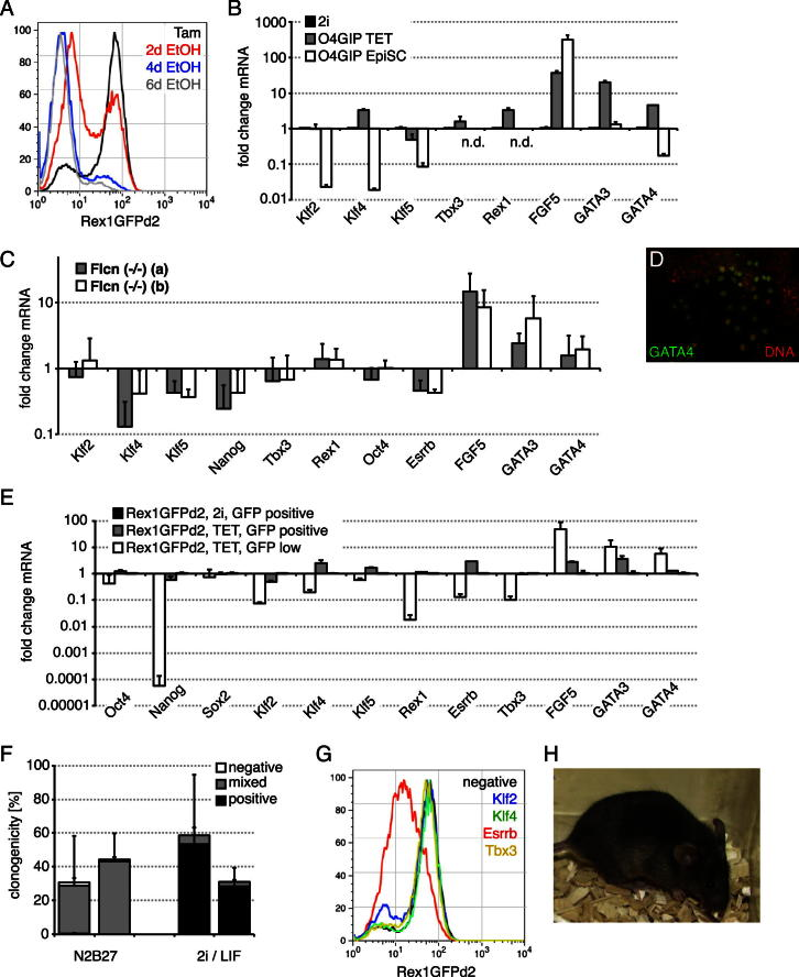 Related to Figure 7 (A) Flow cytometry of Rex1GFPd2 TET cells after Tam withdrawal. (B) Expression levels of indicated mRNAs in O4GIP TET and EpiSCs normalized to 2i. Average and SD are from two independent experiments. (n.d.) indicates not detectable. (C) Expression levels of indicated mRNAs in Flcn knockout cells maintained in N2B27 without 2i or LIF normalized to wild-type ESCs in 2i/LIF. Average and SD are of three independent experiments. (D) Immunohistochemistry for GATA4 in Rex1GFPd2 TET cells. (E) Rex1GFPd2 TET cells were sorted for GFP expression and expression of indicated mRNAs determined. Fold changes relative to sorted Rex1GFPd2 ESCs maintained in 2i and SD are from two technical replicates. (F) Flcn knockout cells maintained in N2B27 without 2i or LIF were plated at single-cell density in indicated culture conditions. Resulting colonies were stained for AP and quantified. Average relative to number of plated cells and SD are of three independent experiments (left bar: Flcn (−/−) (a), right bar: Flcn (−/−) (b)). (G) Rex1GPPd2 TET cells were transfected with indicated siRNAs and GFP expression monitored by flow cytometry 2 days after transfection. (H) Passage 8 Rex1GFPd2 TET cells were injected into C57BL/6 blastocysts without 2i preculture. Contribution of the TET cell agouti gene to coat color is visible against black host fur.