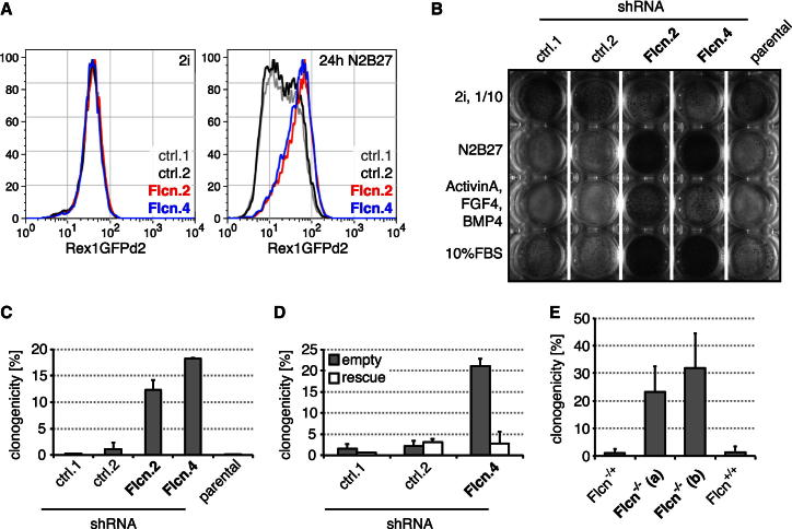 Flcn Regulates ESC Commitment (A) Flow cytometry profile of Rex1GFPd2 expression in Flcn shRNA knockdown clones (Flcn.2,4) and controls (ctrl.1,2) in 2i conditions (left panel) and after 24 hr of 2i withdrawal (right panel). (B) Flcn shRNA cell lines and controls kept in 2i (10-fold fewer cells) or differentiated for 72 hr in N2B27, or N2B27 supplemented with 10% FBS or 25 ng/ml FGF4, 10 ng/ml BMP4, and 20 ng/ml Activin A, were replated in 2i and selected in blasticidin for Rex1 expression. Resulting ESC colonies were visualized by AP staining. (C and D) Differentiating Flcn shRNA cell lines (C) or Flcn shRNA cell lines expressing an empty vector or shRNA-resistant Flcn transgene (rescue) (D) and resp ective controls were replated at clonal density, and colonies arising from uncommitted cells stained for AP. Average clonogenicity and SD are relative to number of plated cells of two independent experiments. (E) CreERT2-expressing clones of indicated genotypes were treated with Tam, differentiated for 3 days, and uncommitted cells quantified in 2i/LIF. Average and SD are of at least three independent biological replicates. See also Figure S2 .