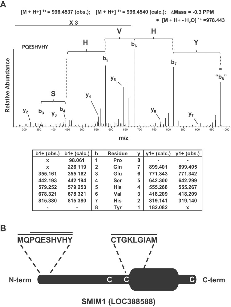 Mass spectrometry-based identification of the Vel antigen carrier as SMIM1. A. The top panel shows the high resolution MS/MS spectrum acquired in the orbitrap mass spectrometer corresponding to the SMIM1 peptide PQESHVHY that was annotated following de novo peptide sequencing as described in the Methods Section. The bottom panel provides the corresponding calculated (calc.) and observed (obs.) m / z values of the singly charged y- and b-type ions. B. Schematic representation of the SMIM1 protein showing the predicted transmembrane domain, the peptides that were identified by mass spectrometry, and the three cysteine residues potentially involved in dimer formation.