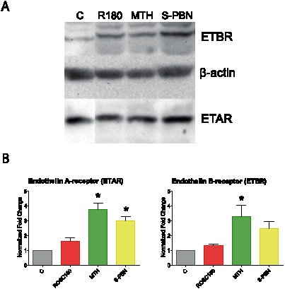 Western Blot analysis of ETAR and ETBR. Cardiac left ventricle tissue homogenates from control animals with untreated cardiac arrest (C group), or after 180 min of untreated return of spontaneous circulation (ROSC180 group), after 180 min of mild therapeutic hypothermia (MTH group) or 180 min after S-PBN infusion (S-PBN group) were loaded on a 12% SDS-acrylamide gel. Bands for endothelin A receptor (ETAR), endothelin B receptor (ETBR) and β-actin were detected at 25 kDa, 50 kDa and 42 kDa, respectively (A). Protein band intensities were quantified using a ChemiDoc XRS and Quantity One software and normalized to the loading control (β-actin) (B). Error bars represent standard error of the mean (SEM). Significant results (p