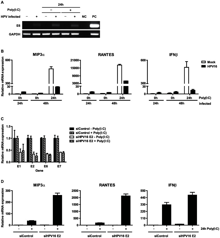 Expression of human papillomaviral transcripts are required to impair cytokine expression of poly(I∶C) stimulated keratinocytes. ( A , B ) Cytokine expression at the initial stage of HPV16 infection. Primary basal layer human foreskin keratinocytes were infected with native HPV16. ( A ) Viral early gene E6 expression was analyzed 1 and 2 (24 h poly(I∶C)) days after infection by PCR. NC: negative control, PC: positive control, HPV16+ KCs. ( B ) MIP3a , RANTES and IFNβ expression was measured by qRT-PCR. Gene expression was normalized against GAPDH mRNA levels and standardized against the 0 h poly(I∶C) stimulated non-infected cells. Similar results were observed in two independent experiments. ( C , D ) Poly(I∶C)-induced cytokine expression in HPV+ KCs transfected with control siRNA (siControl) or siRNA targeting HPV16 E2 (siHPV16 E2). E1 , E2 , E6 , E7 ( C ) as well as MIP3a , RANTES , and IFNβ ( D ) expression was analyzed by qRT-PCR. Gene expression was normalized against GAPDH mRNA levels and standardized against no poly(I∶C) siControl. For all three genes the response to poly(I∶C) was significantly higher when HPV16 E2 was suppressed (p