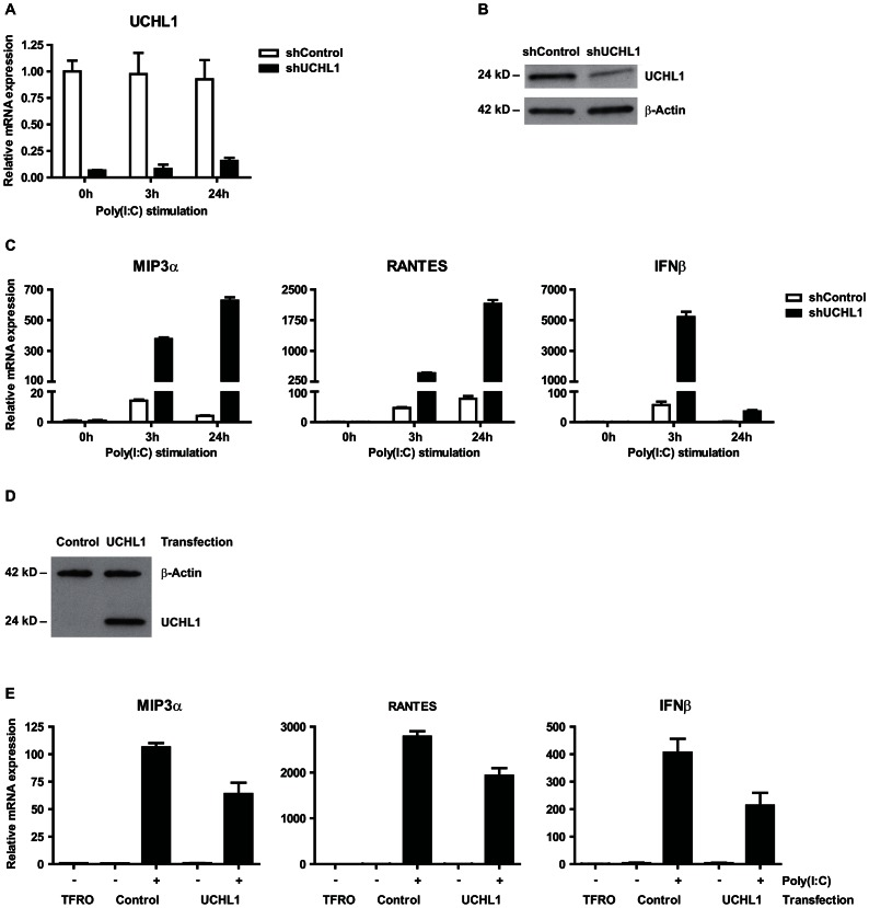 UCHL1 is responsible for suppressing poly(I∶C) mediated gene activation of IFN-I and proinflammatory cytokines in hrHPV-infected KC. ( A – C ) UCHL1 knock-down effect of poly(I∶C) mediated gene expression of IFN-I and proinflammatory cytokines. HPV16+ keratinocytes were transduced with lentiviral vectors expressing shRNA against control mRNA (TurboGFP; shControl) or targeting mRNA of UCHL1 (shUCHL1). Cells were either left unstimulated, or were stimulated with poly(I∶C) for 3 or 24 hrs. ( A ) UCHL1 mRNA expression was analyzed by qRT-PCR and ( B ) UCHL1 protein levels were analyzed by western blotting in whole cell extracts, β-actin served as loading control. ( C ) MIP3α , RANTES and IFNβ mRNA expression was analyzed by qRT-PCR. Gene expression was normalized against GAPDH mRNA levels and standardized against 0 h of stimulation with poly(I∶C). ( D , E ) UCHL1 overexpression effect on the activation of poly(I∶C) mediated gene expression of IFNβ and proinflammatory cytokines. Uninfected keratinocytes were transfected with a vector harboring the UCHL1 gene, an empty control or only received the transfection agent (TFRO). Cells were either left unstimulated, or were stimulated with poly(I∶C) for 24 hrs. ( D ) UCHL1 protein levels were upregulated in the UCHL1 -transfected cells as detected by western blotting in whole cell extracts, β-actin served as loading control. ( E ) MIP3α and RANTES mRNA expression was analyzed by qRT-PCR. Gene expression was normalized against GAPDH mRNA levels and standardized against the TFRO at 0 h of stimulation with poly(I∶C).