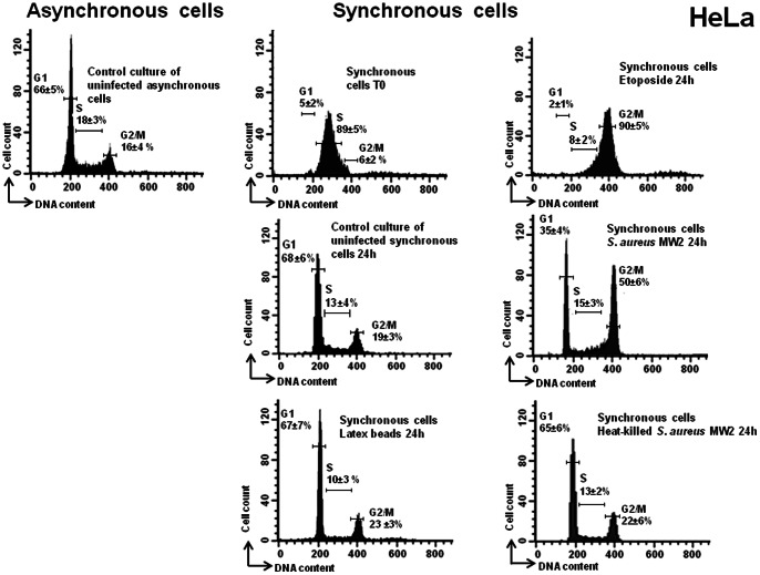 S. aureus induced a G2/M phase transition delay. HeLa cells were synchronized by DTB and were exposed to live or heat-killed bacteria (MW2) at MOI 20∶1, to the latex beads or to the media alone for 2 h, followed by incubation in cDMEM-Gent100 for 2 h, and further incubated for 24 h. Some cells were exposed to etoposide for the same length of time as the exposure to bacteria. Detached cells were then combined with adherent cells and stained with PI. Cell cycle phases of PI-stained cells were monitored by FACS. The data were collected from 20,000 cells and analysis was performed with Cell Quest software. The average percentage of cell cycle phase ± SD is indicated. Each experiment was performed at least five times. Exposure of the cells to live S. aureus bacteria induced an increase in the number of cells in the G2/M phase, (*) p