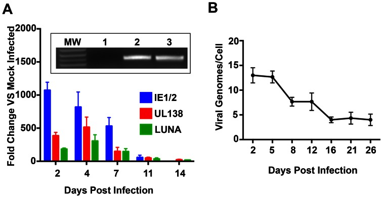 Infected CD14 (+) cells express latency associated transcripts and stable DNA copy number after 14 days in culture. (A) RT-qPCR analysis for the expression of IE1/IE2, LUNA and UL138 mRNA in infected CD14 (+) monocytes. CD14 (+) cells were infected with FIX BAC virus and total cellular RNA was harvested various days post infection and subjected to RT-qPCR using TaqMan primers and probes specific for IE1 and IE2 mRNA. Inset figure: Detection of viral genomic DNA in infected CD14 (+) monocytes by PCR. Lanes: 1, uninfected; 2, 5-day post infection; 3, 18 day post infection. Primers used were specific for the TR region of the genome. (B) CD14 (+) monocytes infected cell viral genome copy number. Cells were harvested at various days post infection and subjected to qPCR using primers and probes specific for the HCMV viral chromosome. Absolute viral genome copy number was determined by comparing to a standard curve and calculated on a per cell basis. Error bars are the standard deviation of the mean for 4 separate wells.