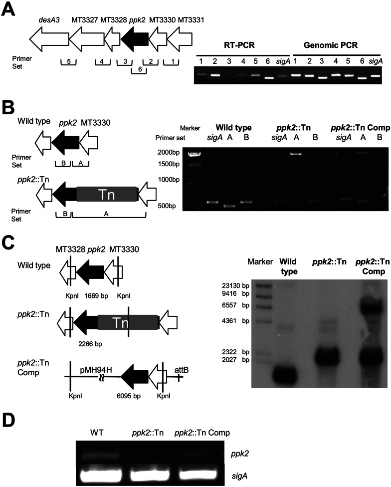 Complementation of ppk2 ::Tn. (A) RT-PCR analysis of wild-type M . tuberculosis CDC 1551 expression of intergenic regions from MT3331 to desA3/MT3326 during late log phase. Chromosomal DNA was used as a control. Primer sets 1 to 5 ( Table 1 ) target specific intergenic areas, as indicated in the figure; primer set 6 targets ppk2 . (B) PCR analysis of genomic DNA from the wild-type, ppk2 ::Tn, and ppk2 ::Tn Comp strains. Primer set A targets the ppk2 gene (bp −50 to 430), yielding a 480-bp product in the wild type, a 2,547-bp product in the ppk2 ::Tn mutant, and both products in the ppk2 ::Tn Comp strain. Primer set B targets bp 108 to 661 of ppk2 , yielding a 553-bp product in all strains. (C) Southern hybridization demonstrating binding of the ppk2 -specific probe to KpnI-digested fragments of the expected size in the wild type (1,669 bp), ppk2 ::Tn mutant (2,266 bp), and ppk2 ::Tn Comp strain (2,266 and 6,095 bp). (D) RT-PCR analysis of ppk2 expression in the wild-type, ppk2 ::Tn, and ppk2 ::Tn Comp strains during early stationary phase of growth.