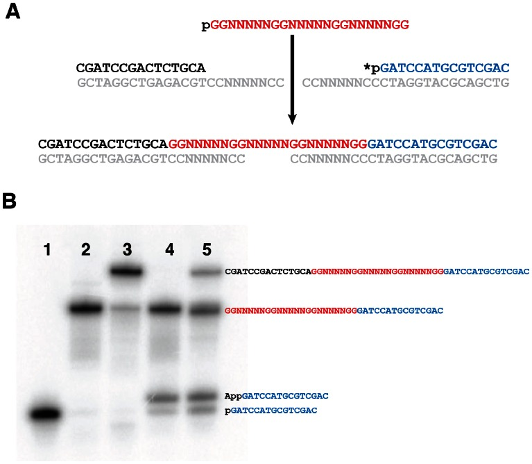Scheme for the ligation of the representative sequence DGR36 to PCR adapters. (A) DGR36 (red) was ligated to 5′ (black) and 3′ (blue) adapters, with two template oligonucleotides (grey). The asterisk represents a  32 P labelled phosphate. (B) Ligation of one and two adapters to DGR36. The 3′ adapter was labelled with  32 P (lane 1) and incubated with T4 DNA ligase, DGR36 and fully complementary template (lane 2), as well as all these oligonucleotides plus a 5′ adapter and fully complementary template (lane 3). The same reactions were performed with the fully complementary templates replaced with partially randomized 3′ templates (lane 4) and both 3′ and 5′ templates (lane 5). The p and App on the 3′ adapters in lanes 4 and 5 represent 5′ phosphorylated and 5′ adenylated adapters, respectively.