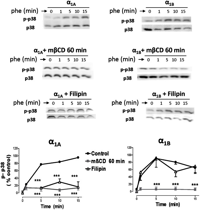 """α 1A - and α 1B -AR mediated p-38 activation is modulated by methyl-β-cyclodextrin, filipin and concanavalin A. HEK293 cells stably transfected with each α 1 -AR subtype were serum-starved for 4 hours and stimulated with PHE (100 µM) for a 15 minute time-course at 37°C. In some experiments, methyl-β-cyclodextrin 10 mM (mβCD) was added for 30 or 60 min, filipin 1 µg/ml and concanavalin A 250 µg/ml for 30 min. After stimulation, cellular extracts were prepared as described under the """"Experimental procedures"""". Equal amounts (15 µg) of each sample were used to visualize the p-p38-MAPK expression Western blots from representative experiments are shown. The lower panels show amounts of p38-MAPK loaded on each sample. The graph quantifies the p-p38-MAPK signal at different times after agonist addition. Data represent means ± S.E.M. of 3–4 independent experiments. Student's t t est was applied to determine significant differences at a given time vs control, ***p"""