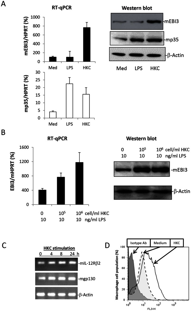 Heat-killed C. albicans enhances EBI3 expression in M2 macrophages with or without LPS stimulation and IL-35 receptors for cytokine consumption. A. M2 macrophages were stimulated with 10 ng/ml LPS or 10 6 cells/ml HKC for 6 hours before lysing the cells for RNA extraction to detect relative levels of EBI3 and IL-12p35 mRNA expression relative to the HPRT mouse housekeeping gene, by RT-qPCR. The cells were stimulated overnight to detect EBI3 and p35 protein expression via Western blotting. B. M2 macrophages were stimulated with increasing amounts of HKC plus 10 ng/ml LPS for 6 hours. The relevant level of EBI3 expression was quantified by RT-qPCR against the HPRT housekeeping gene. EBI3 protein expression was visualised by Western blotting after overnight cell stimulation. The results are representative of two experiments. C. Mouse mIL-12Rβ2 and gp130 mRNA expression in M2 macrophages with or without HKC stimulation. The results are representative of 3 independent experiments. D. Detection of EBI3 on the cell surface of M2 macrophages with and without HKC stimulation.