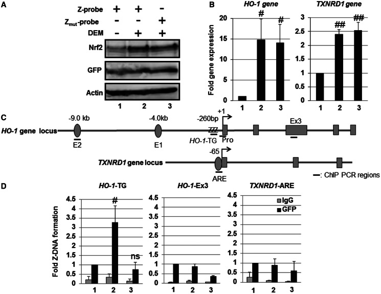Human HO-1 gene promoter adopts a Z-DNA form in response to Nrf2-activating agent DEM. HeLa cells were transfected with the Z-probe (lanes 1 and 2) or Z mut -probe (lane 3) expression vectors. At 24 h after transfection, the cells were untreated (lane 1) or treated with 100 µM DEM for 3 h (lanes 2 and 3). ( A ) Whole-cell lysates were separated using SDS–PAGE, and the protein expression was analyzed through immunoblotting using specific antibodies, as indicated in the figure. ( B ) The gene expression was analyzed through real-time PCR using primers specific for the HO-1 and TXNRD1 genes. The value of lane 1 is set as 1, and the relative expression values are expressed as the means ± SEM of five independent assays. ( C ) A schematic figure of the human HO-1 and TXNRD1 gene loci and regions as detected through ChIP analysis. E2: E2 enhancer; E1: E1 enhancer; +1: transcription start site; ZZZ: HO-1 -TG repeat region; Pro: HO-1 gene promoter region; Ex3: HO-1 Exon 3 region; TXNRD1 -ARE: TXNRD1 ARE region. ( D ) HeLa cells were transfected with the Z-probe or Z mut -probe, and subsequently, the cells were exposed to 100 µM DEM for 3 h. After DEM treatment, a ChIP assay was performed using an anti-GFP antibody (black bars). Normal rabbit IgG was used as a negative control (gray bars). The amount of precipitated DNA was measured through real-time PCR using specific primer sets for the HO-1 -TG, HO-1 -Ex3 and TXNRD1 ARE regions. The anti-GFP ChIP value of lane 1 is set as 1, and the relative bindings are expressed as the means ± SEM of five independent assays. # P