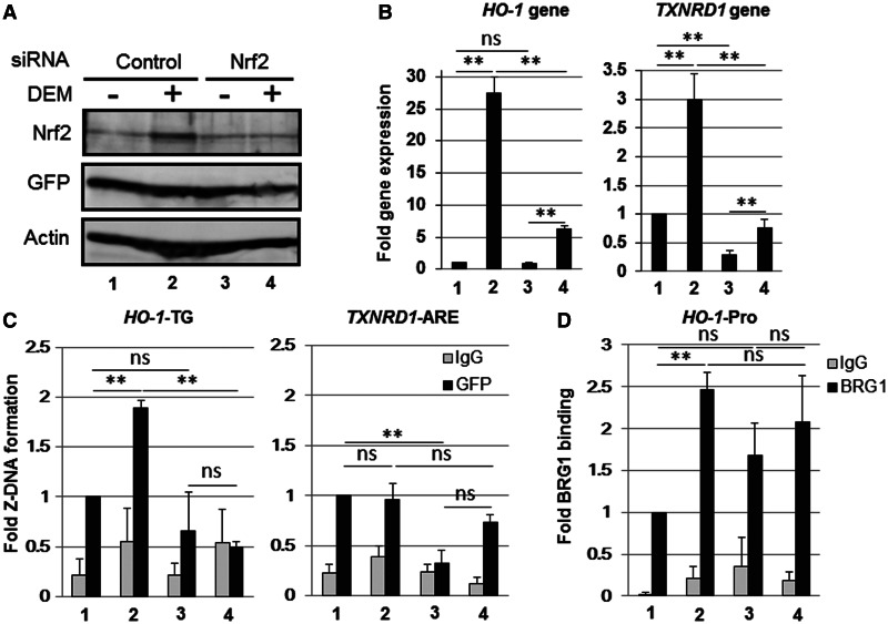 Nrf2 knockdown reduces the DEM-induced Z-DNA formation in the human HO-1 -TG region. HeLa cells were transfected with the Z-probe expression vector, and at 24 h after transfection, the cells were transfected with control siRNA (Control) or Nrf2-specific siRNA (Nrf2) and treated with 100 µM DEM for 3 h. ( A ) Whole-cell lysates were separated using SDS–PAGE, and the protein expression was analyzed through immunoblotting using specific antibodies, as indicated in the figure. ( B ) HO-1 and TXNRD1 gene expression were analyzed through real-time PCR using specific primer sets. The value of lane 1 is arbitrarily set as 1, and the relative expressions are expressed as the means ± SEM of three independent assays. ( C and D ) A ChIP assay was performed using anti-GFP (C) or anti-BRG1 antibodies (black bars; D). Normal rabbit IgG was used as a negative control (gray bars). The Z-DNA formation was measured through real-time PCR using specific primer sets for the HO-1 -TG and TXNRD1 ARE regions (C). BRG1 binding was measured through real-time PCR using a specific primer set for the HO-1 gene promoter region ( HO-1 -Pro; D). The anti-GFP ChIP (C) or anti-BRG1 ChIP (D) values of lane 1 are set as 1, and the relative bindings are expressed as the means ± SEM of three independent assays. ** P