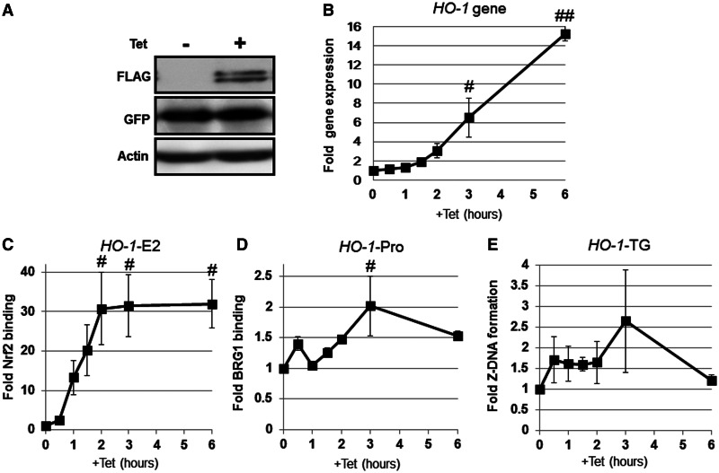 Nrf2 activation is sufficient to induce Z-DNA formation in the human HO-1 -TG region. 293T-REx-FLAG-human Nrf2 cells stably expressing the Z-probe* were treated with Tet for the indicated periods of time. ( A ) Whole-cell lysates were separated using SDS–PAGE, and the protein expression was analyzed through immunoblotting using specific antibodies, as indicated in the figure. ( B ) The HO-1 gene expression after Tet administration was analyzed through real-time PCR using specific primer sets. The value at time 0 h was arbitrarily set as 1, and the relative expression values are expressed as the means ± SEM of three independent assays. ( C ) Nrf2 binding to the human HO-1 E2 enhancer ( HO-1 -E2) was analyzed through ChIP using an anti-FLAG antibody. ( D ) BRG1 recruitment to the human HO-1 gene promoter ( HO-1 -Pro) was analyzed through ChIP using an anti-BRG1 antibody. ( E ) Z-DNA formation was measured through real-time PCR using a specific primer set for the HO-1 TG repeat region ( HO-1 -TG). The value at 0 h is arbitrarily set as 1, and the relative bindings are expressed as the means ± SEM of three independent assays. # P