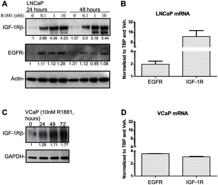 Androgen receptor regulates expression of receptor tyrosine kinases in LNCaP and VCaP cells. Cells were deprived of androgens for 72 hours prior to stimulation with a synthetic androgen (R1881) for the indicated time. A) LNCaP cells were treated with a concentration gradient of R1881, protein lysates were harvested at 24 and 48 hours and samples analysed by WB. The intensity of <t>IGF-1R</t> and <t>EGFR</t> bands were determined with densitometry, normalized to actin and the protein amount in the vehicle treated sample was set to one. Experiment was repeated twice. B) LNCaP cells were stimulated with either 10 nM R1881 or vehicle and total mRNAs were collected after 18 hours. Values were first normalized to TBP and then to the vehicle treated sample. The data shown represents values obtained from a biological replicate and standard error of mean shown. C) VCaP cells were treated with 10 nM R1881 and protein lysates were harvested at the indicated time points. The intensity of the bands was determined with densitometry, normalized to GAPDH and the Western blot signal at the zero hours timepoint was set to one. D) VCaP cells were treated with 10 nM R1881 and mRNA samples were harvested 18 hours after the stimulation. The data shown represents values obtained from a biological replicate and standard standard error of mean is shown.