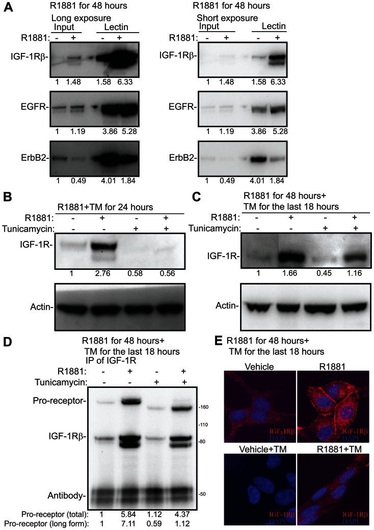 N-linked glycosylation is required for the processing and localization of Insulin like Growth Factor 1-Receptor. A) LNCaP cells were deprived of androgens for 72 hours, stimulated with 10 nM R1881 and protein lysates were harvested after 48 hours of the treatment. Phaseolus Vulgaris Leucoagglutinin lectin was used to enrich proteins modified via N-linked glycosylation from androgen stimulated cells. These enriched fractions were then analyzed by the means of Western blotting and blotted for IGF-1R, EGFR and ErbB2. Two different exposures of the same experiment are shown. The intensity of each band was determined with densitometry, normalized to the background and the input sample treated with vehicle was set to one. This experiment was repeated twice. B) LNCaP cells were deprived of androgens for 72 hours, stimulated with 10 nM R1881 for 24 hours either in the presence or absence of tunicamycin (5 µg/ml) and protein lysates were harvested. The intensity of the bands were determined with densitometry, normalized to actin and the vehicle treated sample was set to one. This experiment was repeated twice. C) LNCaP cells were deprived of androgens for 72 hours, stimulated with 10 nM R1881 for 48 hours and tunicamycin (5 µg/ml) was added for the last 18 hours where indicated. The intensity of the bands were determined with densitometry, normalized to actin and the vehicle treated sample was set to one. This experiment was repeated twice. D) LNCaP cells were treated as in C, protein lysates were harvested and IGF-1R antibody was used to immunoprecipitate (IP) the receptor. Membranes were probed with an antibody against IGF-1Rβ. The bands corresponding to IGF-1R pro-receptor, IGF-1Rβ subunit and IgG heavy chain are depicted. The density of the total pro-receptor and the longer forms were determined with densitometry and vehicle treated condition was set to one. This experiment was repeated twice. E) LNCaP cells were treated as in C, harvested for immunofluorescence by metha
