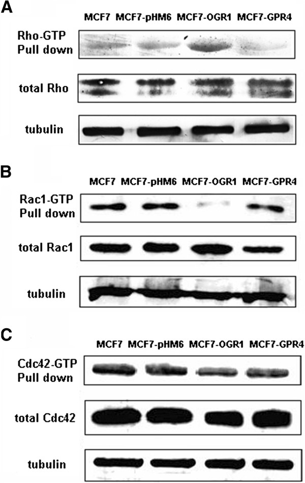 Effects of OGR1 over-expression on the activity of Rho family members in MCF7 cells. The activation levels of Rho ( A ), Rac1 ( B ) and Cdc42 ( C ) were examined by pull-down and Western blot analyses as described in Materials and Methods. Total Rho, Rac1, and Cdc42, as well as α-tubulin were analyzed in whole cell lysates. Representative results are from three independent experiments.
