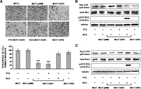 OGR1 inhibited MCF7 breast cancer cell migration through a Gα 12/13 -Rho-Rac1 pathway. Cells were pretreated with the solvent or PTX (1 μM) for 16 h, or transfected with the RGS plasmid for 48 h. ( A ) Cell migration was analyzed by transwell migration assays after treatment or using transient transfected cells 72 h post-transfection. *** P