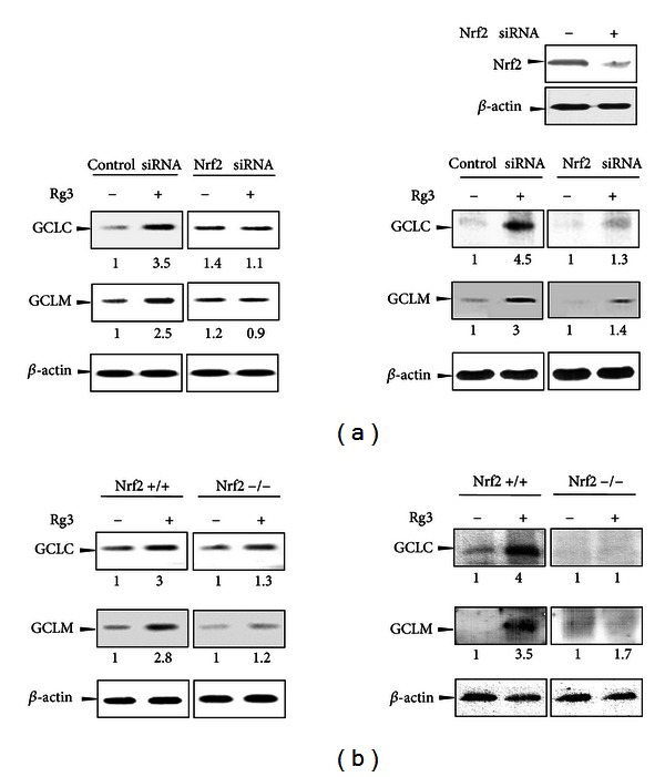 The Nrf2-mediated GCL gene expression by Rg3. (a) H4IIE cells were transiently transfected with siRNA directed against Nrf2 or nontargeted siRNA and subsequently treated with Rg3 (3 μ g/mL) or vehicle for 12 h. The representative blots of mRNA after Rg3 treatment were assessed by RT-PCR (left). To confirm gene knockdown, the Nrf2 levels 48 h after siRNA transfection were determined in the cell lysates by western blotting. GCLC and GCLM protein expression in the total cell lysates were detected in cells stimulated with Rg3 (3 μ g/mL) for 24 h (right). β -actin was used as the loading control. (b) MEFs from wild-type (Nrf2+/+) or Nrf2-deficient mice (Nrf2−/−) were treated with Rg3 (3 μ g/mL) or vehicle for 12 h. The mRNA levels (left) and protein expression (right) for the genes were analyzed as described above (a). All experiments were performed using independent mRNA and lysate samples. Each value represents the average with at least three separate experiments.