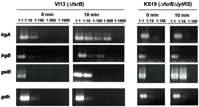 LytRS is required for GBAP induction of lrgAB genes. The semi-quantitative RT-PCR shows expression of lrgAB genes in the VI13 (Δ fsrB mutant) and KS19 (Δ fsrB Δ lytRS mutant), in the presence of GBAP. Expression of gelE and gdh were used as positive and negative controls, respectively, of Fsr induction by GBAP and of RNA concentration, respectively. The RNA used for this analysis was previously treated with RNase-free DNase I to remove contaminating DNA.